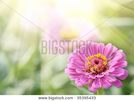 Aster Or Dahlia Flowers On Green Grass
