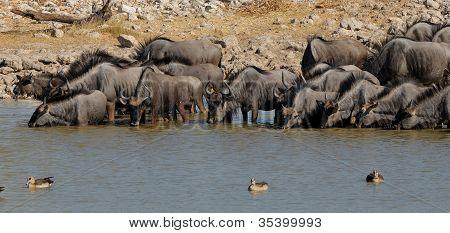 Blue Wildebeest Drinking Water, Okaukeujo Waterhole