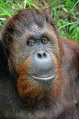 picture of bestiality  - Friendly orangutan at the national zoo in dc - JPG