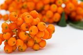 Ashberry Cluster With  Bright Orange Berry