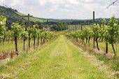 image of dork  - View over grapevines at vineyard on the North Downs - JPG