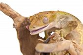 picture of gekko  - Crested gecko is licking his lips - JPG