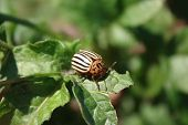 picture of potato bug  - A Colorado Potato Bug doing damage to some potato plants in the garden - JPG