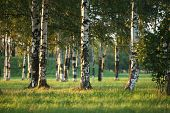 picture of birchwood  - Beautiful landscape with the sun and shades in a birchwood - JPG