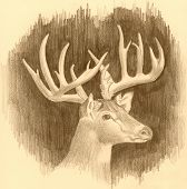 image of deer head  - illustration of the head of a buck done in pencil with sepia tones - JPG