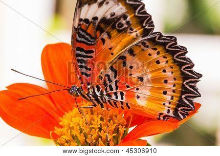 Macho Leopard Lacewing mariposa