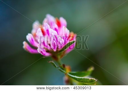 Red Clover (trifolium Pratense) With Hoarfrost