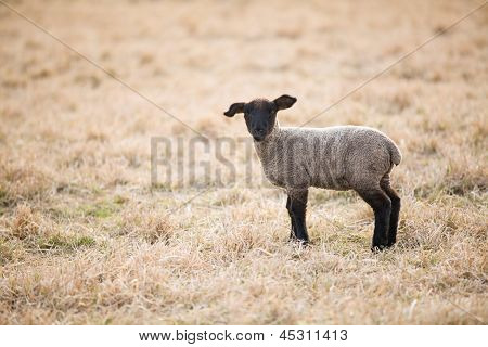 Single Black Lamb On Pasture In Spring