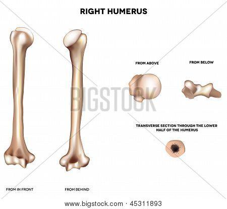 Hueso del brazo superior húmero