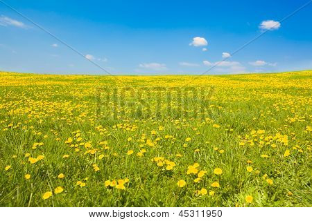 Wide Shot Of Spring Meadow With Dandelions And Sky