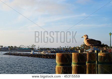 Redondo Beach Pier Seagull