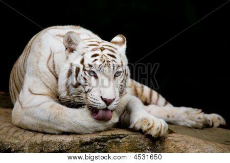 White Tiger Licking Paw