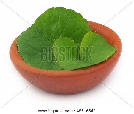 Medicinal thankuni leaves on a clay pot