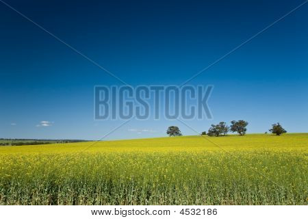 Field Of Canola Crops With Blue Sky