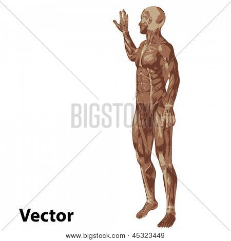 Vector 3D human or man with muscles for anatomy or sport designs. A male isolated on white background