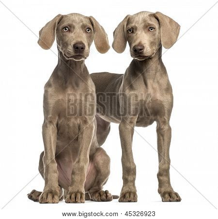 Two Weimaraner puppies, 2,5 months old, sitting and standing, isolated on white