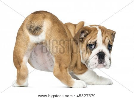 Rear view of an English Bulldog Puppy bottom up, 2 months old, isolated on white