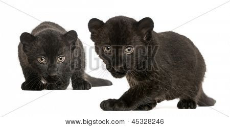 Two Black Leopard cubs, 3 weeks old, prowling and gazing, isolated on white