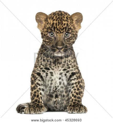 Spotted Leopard cub sitting - Panthera pardus, 7 weeks old, isolated on white