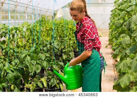 Female gardener at market gardening or nursery with apron watering vegetables or plants