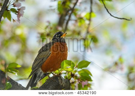 American Robin on a cherry tree in spring
