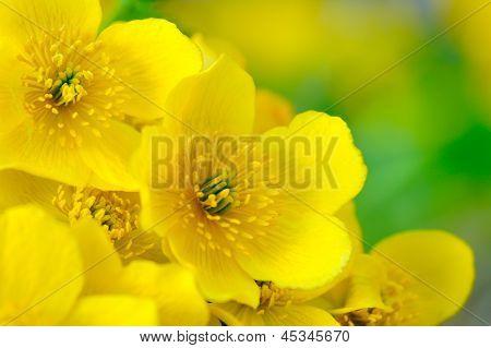 Gelbe Kingcup (Marsh Marigold oder Sumpfdotterblume) Blumen Makro