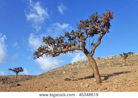 Boswellia - frankincense tree - Socotra island