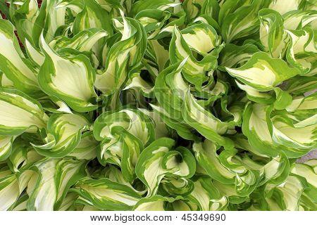 Gorgeous hosta plant