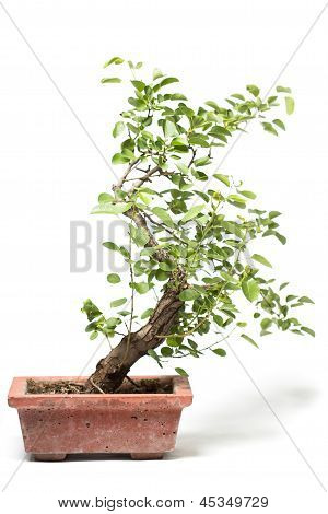 Little Bonsai Tree