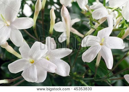 Closeup White Flowers And Leaves Of Jasmine Plant