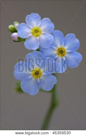 Macro  Of A Blue  Anagallis Foemina