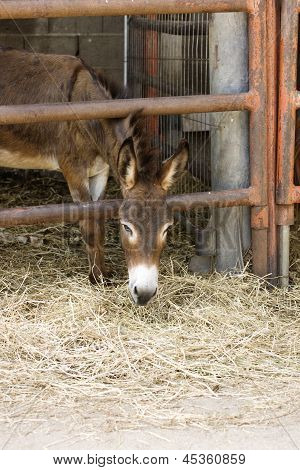 Young Donkey