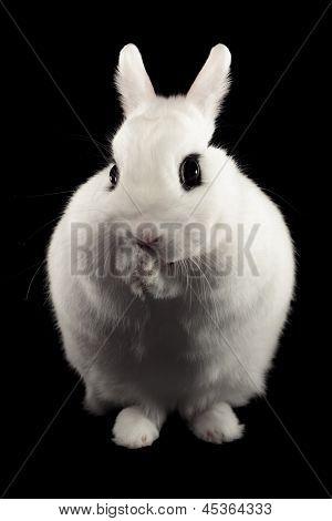 Dwarf Hotot Rabbit