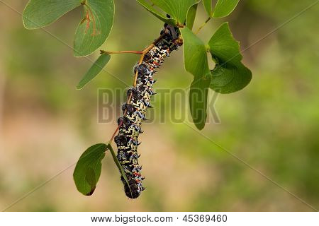 Mopane Worm On Leaf