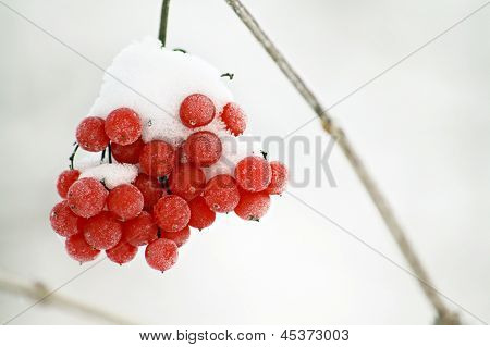 Frosty Red Berries In A Wintry Scene