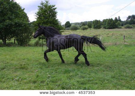 Fresian Horse