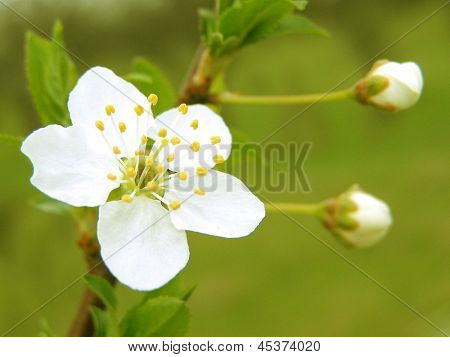 Blossoming branch with with flowers of cherry plum