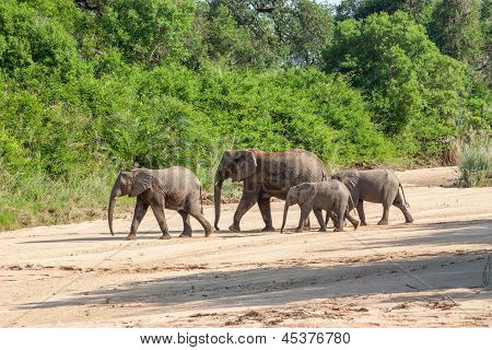Wild Herd Of Elephants Come To Drink In Africa In National Kruger Park In Uar,natural Themed Collect