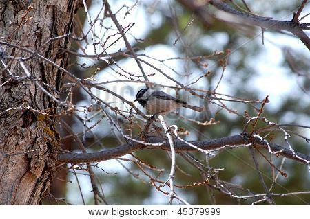 Mountain Chickadee (poecile Gambeli) Pikes Peak Region Colorado Springs, Colorado