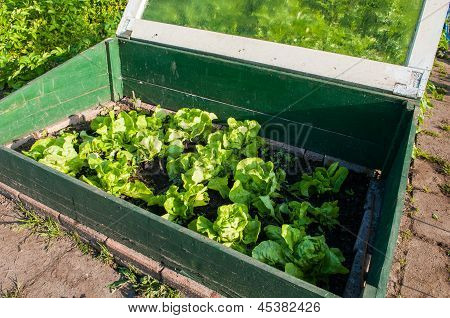 Homegrown Fresh Lettuce In A Small Greenhouse