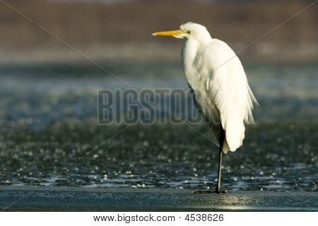 Great Egret Resting On Ice