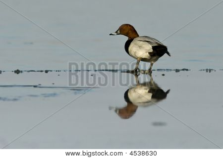 Pochard Duck Sitting On Ice