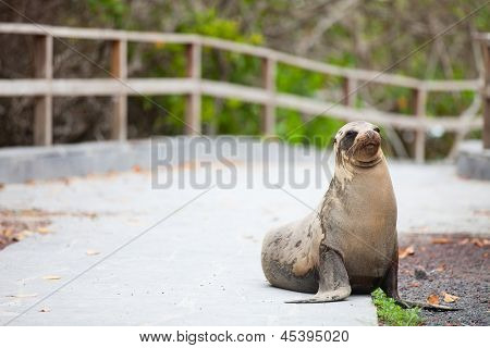 Sea lion on a pedestrian walkway at Galapagos islands