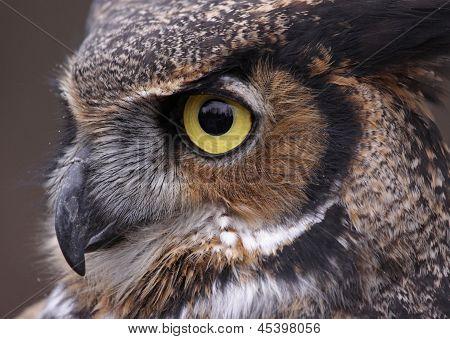 Tiger Owl Eye