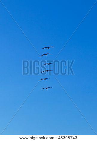 Flock Of Pelicans In The Air
