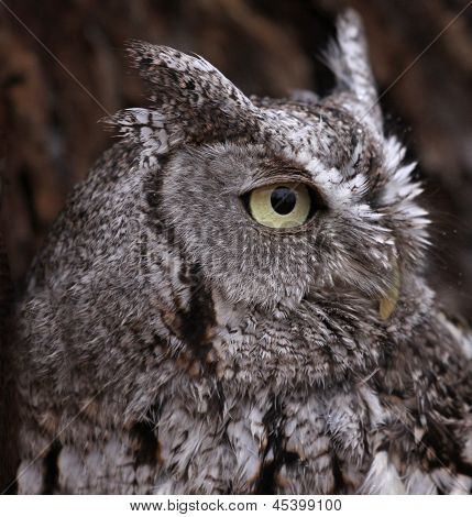 Eastern Screech Owl Profile