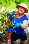 Adult Woman Cares For Blooming Dipladenia Plant In Garden