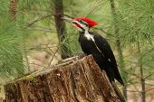 foto of woodpecker  - A capture of a Pileated Woodpecker  sitting on a log - JPG