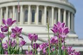 Washington DC, tulips in front of the US Capitol building in spring