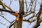 image of cutting trees  - fruit tree cut trim prune with two handle clippers scissors in spring garden on background of blue sky.
